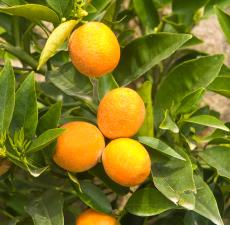 bulk apothecary bergamot essential oil
