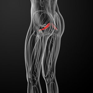 medical-illustration-of-the-piriformis